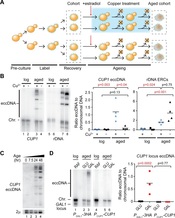 Transcription of the  CUP1  locus causes eccDNA accumulation. (A) Schematic representation of cell labelling, induction, and ageing in the presence or absence of copper. (B) Southern blot analysis of  CUP1  eccDNA and rDNA-derived eccDNA (ERCs) in yeast cells aged for 48 hours in the presence or absence of 1 mM CuSO 4 , along with young cells maintained in log phase in the presence or absence of 1 mM CuSO 4  for an equivalent time. Large linear fragments of chromosomal DNA (Chr.) migrate at the resolution limit of the gel, whereas circular DNA species (eccDNA) migrate more slowly. Abundances of eccDNA and ERCs were compared by one-way ANOVA;  n  = 4 biological replicates; data were log transformed for testing to fulfil the assumptions of a parametric test. (C) Southern blot analysis of  CUP1  eccDNA in cells aged for 0, 7.5, 24, or 48 hours in 1 mM CuSO 4 . Chromosomal DNA was removed with ExoV to improve sensitivity, endogenous circular 2μ DNA is shown as a loading control. (D) Southern blot analysis of eccDNA in a heterozygous strain bearing one  P GAL1 -3HA cup1  locus modified by replacing all  CUP1  promoters and ORFs with  P GAL1  promoters and 3HA ORFs, and 1 wild-type  P CUP1 -CUP1  allele. eccDNA is detected with allele specific probes; the additional band in the left panel is from hybridisation to the endogenous  GAL1  locus on Chromosome II. Quantification and analysis performed as in panel B,  n  = 3. The data underlying this figure may be found in   S1 Data  and   S1 Raw Images . eccDNA, extrachromosomal circular DNA; ERC, extrachromosomal ribosomal DNA circle; ExoV, exonuclease V; ORF, open reading frame; rDNA, ribosomal DNA.