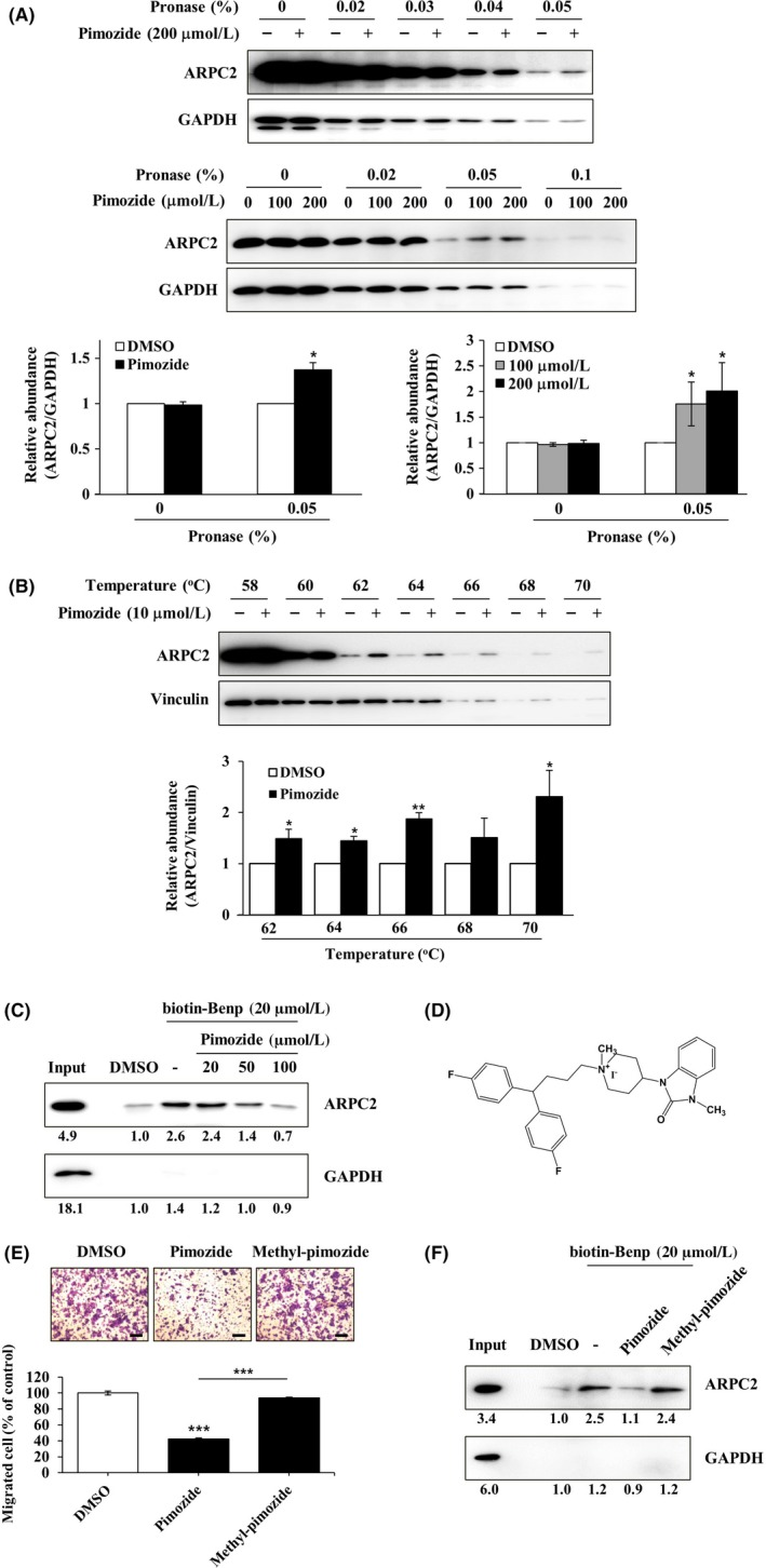 Direct binding of pimozide with ARPC2. A, DLD‐1 cell lysates were incubated in the presence or absence of pimozide (100 or 200 μmol/L) for 1 h at room temperature, followed by proteolysis with various pronases in a dose‐dependent way. GAPDH, which served as the loading control, is relatively resistant to proteolysis (n = 3). B, DLD‐1 cells were treated for 12 h with 10 μmol/L pimozide, and then CETSA was carried out to measure binding ability. Pimozide increased the thermal stability of ARPC2 compared with DMSO. Vinculin is a nontarget protein of pimozide (n = 3). Band intensity was quantified using the MultiGauge program. C, DLD‐1 cell lysates was incubated with 20 μmol/L biotinyl benproperine (biotinyl‐Benp) and competed with pimozide at the indicated concentration. Proteins were captured with NeutrAvidin‐Agarose resin (ThermoFisher Scientific Inc., Waltham, MA, USA) and eluted proteins were analyzed by western blotting (n = 2). D, Chemical structure of N‐methyl‐pimozide. E, Cell migration assay of DLD‐1 cells that were treated with DMSO, pimozide, or N‐methyl‐pimozide for 18 h and quantification of the migrated cells (n = 3). Scale bars, 200 μm. F, Pull‐down assay with biotinyl‐Benp was done in the absence or presence of compounds as competitor (100 μM). Bound proteins on the beads were separated by SDS‐PAGE, and western blot was carried out using anti‐ARPC2 and anti‐GAPDH antibodies (n = 2). Data represent the means ± SD; * P
