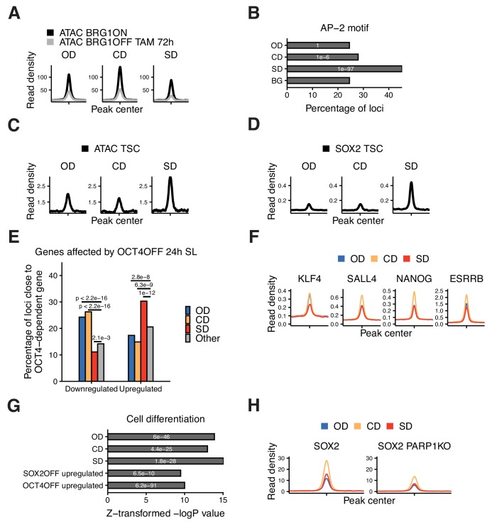 Additional characterization of OD, CD, and SD loci. ( A ) Average ATAC-seq signal 2 kb around OD, CD, and SD loci in BRG1fl cells that were treated with tamoxifen (TAM) or left untreated. ( B ) Frequency of overlap (bar) and enrichment p-values (white digits) of the AP-2 motif 2 kb around OD, CD, and SD loci, and in background regions (BG). ( C ) Average ATAC-seq signal in TS cells 2 kb around OD, CD, and SD loci. ( D ) Average SOX2 ChIP-seq signal in TS cells 2 kb around OD, CD, and SD loci. ( E ) Percentage of the closest gene in the OD, CD, and SD groups as well as all other accessible regions (Other) whose nascent RNA levels are downregulated or upregulated upon 24 hr of OCT4 depletion. p-values: Fisher's exact test. ( F ) Average ChIP-seq signal of ESRRB, NANOG, KLF4, and SALL4 in ES cells 2 kb around OD, CD, and SD loci. ( G ) Relative enrichment values (bar) and p-values (white digits) for the closest genes in the OD, CD, and SD groups, as well as loci upregulated upon SOX2 and OCT4 depletion, in the 'Cell differentiation' gene ontology set. ( H ) Average ChIP-seq signal of SOX2 2 kb around OD, CD, and SD loci in wt and PARP1 KO ES cells. Statistics for ( A ), ( C–D ), ( F ), ( H ) are available in Supplementary file 1 .