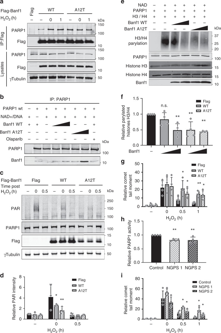 Banf1 A12T inhibits repair of oxidative lesions in NGPS patient cells. a Interactions of PARP1 with Flag-Banf1 mutants. Flag immunoprecipitations from HEK293T cells ectopically expressing the Flag-Banf1 WT or A12T proteins following H 2 O 2 . b Purified Banf1 WT or A12T proteins were incubated with PARP1, immunopreciptated with PARP1 antibodies and immunoblotted with the indicated antibodies. c Inhibition of auto-poly-ADP-ribose activity of PARP1 in U2OS expressing ectopic Flag-Banf1 WT or A12T following H 2 O 2 . d The PAR bands in ( c ), were analysed via densitometry and normalised to γ-Tubulin. Histogram data shown in ( d ), represent the mean and S.D. of three independent experiments. e In vitro inhibition of PARP1 poly-ADP-ribose activity on histones by purified Banf1 WT or A12T. f The PAR bands on ( e ), were analysed via densitometry. g Banf1 inhibits repair of oxidative DNA damage. Alkaline comet assay showing the relative olive tail moment in control cells and cells ectopically expressing Flag-Banf1 WT or A12T following H 2 O 2 treatment and recovery. Paired t test was used for statistical analysis. h Inhibition of Poly-ADP-ribose activity of PARP1 purified from NGPS patient cells on an immobilised histone substrate HEK293T following H 2 O 2 . i NGPS patient cells exhibit defective repair of oxidative DNA damage. Alkaline comet assay showing the relative olive tail moment in control cells and NGPS cells after H 2 O 2 treatment and recovery. Paired t test was used for statistical analysis. Immunoblots are representative of n = 3 independent experiments. Unless otherwise stated, histogram data shown represent the mean and S.D. of n = 4 independent experiments and statistical significance was defined via ANOVA. * P
