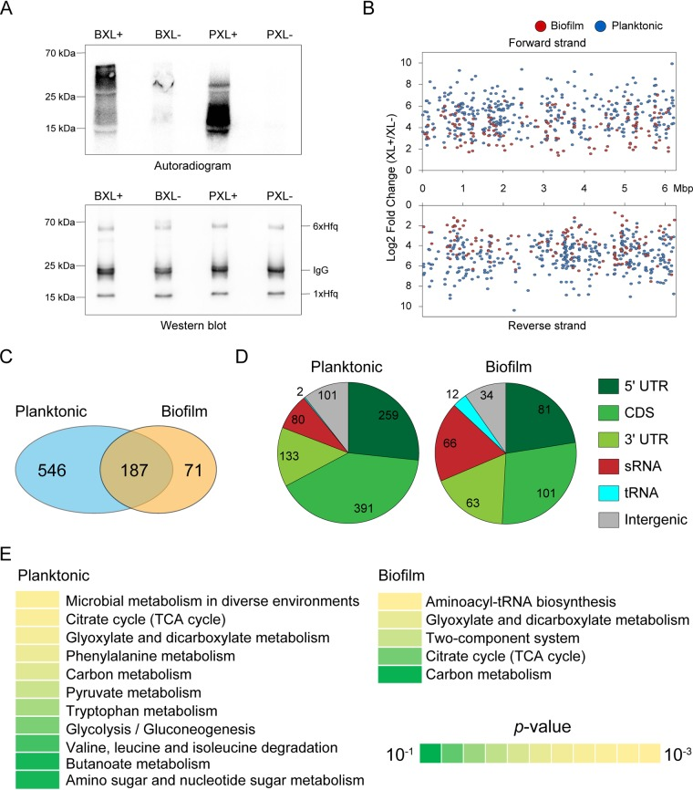 Overview of cross-linking immunoprecipitation with high-throughput sequencing (CLIP-seq) analysis of Pseudomonas aeruginosa Hfq under planktonic and biofilm conditions. (A) Autoradiogram and Western blotting of the CLIP-enriched Hfq-RNA complex under two physiological conditions. XL+, cross-linking; XL-, non-cross-linking; P, planktonic; B, biofilm. Biological replicates are shown in Fig. S1 in the supplemental material. (B) The distribution of Hfq peaks throughout the P. aeruginosa PAO1 genome. Peaks from planktonic and biofilm conditions are highlighted in blue and red, respectively. (C) The Venn diagram shows the number of detected peaks under planktonic and biofilm conditions. Two peaks from both conditions wherein both the start and stop positions are within 40 nt are regarded as the same peak. (D) Classification of Hfq peaks into RNA classes (5′ UTR, CDS, 3′ UTR, sRNA, tRNA, and intergenic peaks). The 5′ UTRs and 3′ UTRs were annotated from TSSs validated by differential RNA-seq ( 39 ) and terminators predicted by TransTermHP ( 40 ), as well as manual curation of sRNAs from size selection sRNA-seq conducted by previous researches ( 16 , 17 ). (E) DAVID enrichment analysis of Hfq peaks from 502 and 180 mRNAs except for intergenic regions under planktonic and biofilm conditions, respectively. The results of KEGG pathway enrichment analysis are presented. Overall results are shown in Table S2 .