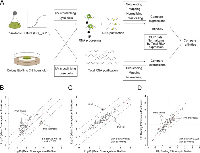Normalization and comparison of cross-linking immunoprecipitation with high-throughput sequencing of Hfq between planktonic and biofilm conditions. (A) A schematic representation of the comparison of RNA affinities to Hfq between planktonic and biofilm forms. Only overlapping peaks between two phenotypes were considered. Read coverages of cross-linked samples from planktonic conditions were divided by those from biofilms. Concomitantly, read coverages of total RNA from the planktonic condition were divided by those from biofilms. To remove the effect of RNA expression from peak information, fold changes of CLIP-normalized read coverages between planktonic and biofilm conditions were divided by those of total RNA-normalized coverage. (B to D) Mean coverages normalized according to size factors of overlapping peaks detected by CLIP-seq (B) and total RNA-seq (C) between planktonic and biofilm conditions. Dashed lines denote the reference diagonal. (D) Affinity comparison of Hfq normalized peaks on overlapping RNAs between planktonic and biofilm conditions. Dashed lines denote the reference bases. Peaks from sRNAs and others are highlighted in red and gray, respectively. Significantly enriched sRNAs in planktonic (PhrS) or biofilm (PrrF1/2) cultures are indicated with circles. The correlation coefficient ρ was calculated from planktonic versus biofilm.