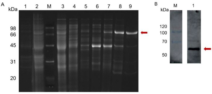 SDS-PAGE ( A ) and <t>immunoblot</t> ( B ) analyses of recombinant Tb4CL4-like. (A): Lane 1, uninduced protein; lane 2, induced protein; lane 3, flow-through of protein sample; lane 4, elution of equilibration buffer; lanes 5–9, elution buffer from 20, 40, 100, 120 and 140 mM imidazole buffer, respectively. (B): Lane 1, Tb4CL4-like-His fusion protein was analyzed by immunoblotting with anti-His as the primary antibody. The target band is marked in red. The positions and sizes (in kDa) of the weight standards in lane M are indicated.