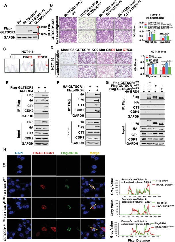 Truncated GLTSCR1 FS loses its antimetastatic function. A) Immunoblotting analysis of GLTSCR1 protein expression in GLTSCR1‐KO HCT116 cells with re‐expression of Flag‐GLTSCR1 WT , GLTSCR1 Del‐FS , and GLTSCR1 In‐FS . B) Transwell assay to investigate the migration and invasion potential of GLTSCR1‐KO HCT116 cells with re‐expression of Flag‐GLTSCR1 WT , GLTSCR1 Del‐FS , and GLTSCR1 In‐FS . The histogram on the right shows the quantification analysis results. C) DNA sequence of the GLTSCR1 C8 microsatellite site in CRISPR‐mediated heterozygous‐mutated HCT116 cell lines (the arrows indicate the mutation site). D) Transwell assay to investigate the migration and invasion potential of control (mock) and CRISPR‐mediated heterozygous‐mutated HCT116 cell lines (GLTSCR1‐KO2 for positive control). The histogram on the right shows the quantification analysis results. E) Immunoblotting to detect the immunoprecipitation of exogenous Flag‐tagged GLTSCR1, HA‐tagged BRD4, CT1 and CK9 by an anti‐Flag antibody in HEK293 cells. F) Immunoblotting to detect the immunoprecipitation of exogenous Flag‐tagged BRD4, HA‐tagged GLTSCR1, CT1 and CK9 by an anti‐Flag antibody in HEK293 cells. G) Immunoblotting to detect the immunoprecipitation of exogenous Flag‐tagged GLTSCR1 WT , GLTSCR1 Del‐FS or GLTSCR1 In‐FS , HA‐tagged BRD4, CT1 and CK9 by an anti‐Flag antibody in HEK293 cells. H) Immunofluorescence staining for exogenous Flag‐tagged BRD4 and HA‐tagged GLTSCR1 WT , GLTSCR1 Del‐FS or GLTSCR1 In‐FS in HCT116 cells. Nuclei were stained with DAPI. Scale bars, 10 µm. The Y ‐axis represents measurements of fluorescent intensity and the X ‐axis represents the drawn distances for colocalization analysis (the Pearson's coefficient in colocalized volume for the colocalization index). Data are presented as the mean ± SD; statistical significance was assessed by an unpaired t ‐test. * P