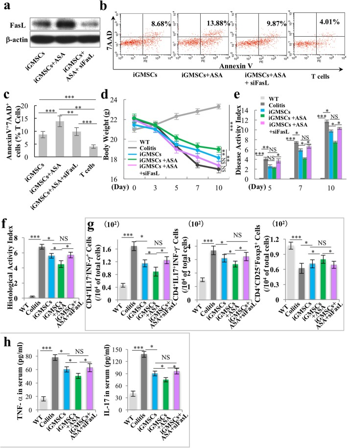ASA treatment rescues the impaired immunomodulation capacity of iGMSCs via upregulation of FasL. a Western blot analysis showed that FasL siRNA downregulated the expression level of FasL in ASA-iGMSCs. b , c In vitro co-culture system showed that FasL siRNA-treated ASA-iGMSCs was not able to sufficiently induce Annexin V + /7AAD + T cell apoptosis compared with untreated ASA-iGMSCs. d – f FasL siRNA-treated ASA-iGMSCs showed decreased immunomodulation capacity compared with untreated ASA-iGMSCs, as assessed by d amelioration of losing body weight, e decreased disease activity index (DAI), and f alleviation of colitis histologic activity index (HAI). g FasL siRNA treatment inhibits ASA-iGMSCs' ability to reduce the levels of Th1 and Th17 cells and elevate the levels of Treg cells in colitis mice. h FasL siRNA treatment inhibits ASA-iGMSCs' ability to downregulate the serum levels of TNF-α and IL-17 in colitis mice. n = 5 in each group. Scale bar = 200 μm. * P
