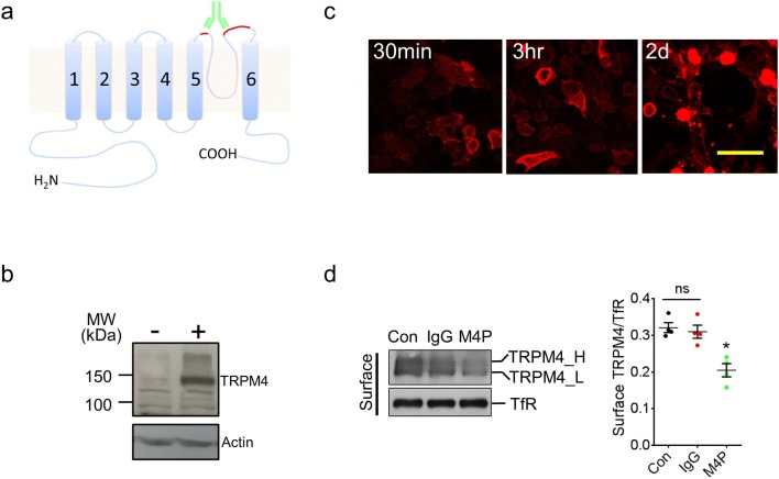 Generation and characterisation of TRPM4 blocking antibody M4P. a Schematic representation of TRPM4 channel with the antigenic epitope for M4P labelled in red. b Using M4P to detect TRPM4 channel in HEK 293 cells transfected with mouse TRPM4 (+) or an empty vector (−). c Live HEK 293 cells with TRPM4 expression were incubated with 1.3 μg/ml M4P for 30 min, 3 h and 2 days, and fixed for immunostaining to detect M4P localization. Scale bar 50 μm. d Detection and quantification of TRPM4 channel expression. TRPM4 transfected HEK 293 cells were incubated with rabbit IgG (1.3 μg/ml) and M4P (1.3 μg/ml) for 6 h, then surface biotinylation assay was performed. Con: control group received no treatment. For quantification, n = 4 experiments, and statistical analysis was performed by one-way ANOVA with Bonferroni's post hoc analysis. * p