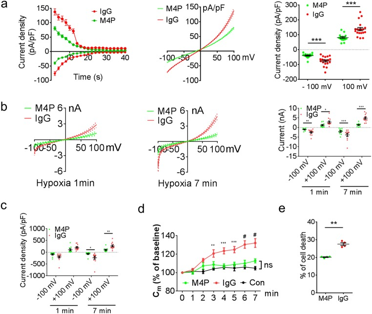 M4P blocks TRPM4 channel currents. a Time course of normalised currents by membrane capacitance at + 100 mV and − 100 mV from ramp protocols applied from − 100 to + 100 mV. The pipette solution contained a calculated 7.4 μM free Ca 2+ . The current-voltage relationships before desensitisation were presented as means ± s.e.m. in the middle panel. Summary of current densities at − 100 mV and 100 mV before desensitisation is shown on the right. Data were obtained from 19 cells for IgG and 15 cells for M4P. b Current-voltage relationship for M4P ( n = 10) and rabbit IgG ( n = 12) treatments from 250-ms voltage ramps after 1 min (left panel) and 7 min (middle panel) hypoxia treatment. Summary of current at − 100 mV and 100 mV under the same conditions is shown on the right. c Normalised current by membrane capacitance (C m ) of M4P or rabbit IgG-treated cells after 1 min and 7 min hypoxia treatment. d Time course of membrane capacitance (C m ) changes with IgG ( n = 12) or M4P ( n = 10) treatment under hypoxic conditions. HEK 293 cells ( n = 13) under normoxic conditions were recorded as control. No difference was observed between M4P and control groups. e Summary of cell death after 24 h OGD with the treatment of M4P or IgG. n = 4 experiments. For a – d , TRPM4-transfected HEK 293 cells were incubated with 20.8 μg/ml IgG or M4P for 30 min before patch-clamping. In a , b , c , and e , statistical analysis was performed by two-tailed unpaired Student's t test; in d by two-way ANOVA with Bonferroni's post hoc analysis. * p