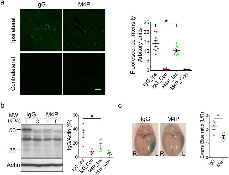 <t>M4P</t> improves BBB integrity after stroke reperfusion. a Extravasation of M4P or control rabbit <t>IgG</t> in rat brains. The experimental protocol is similar as in Fig. 4b . Immunostaining was performed 1 day after stroke reperfusion. Fluorescent intensities from 3 experiments were quantified on right. b Western blot using anti-rabbit IgG to detect antibody extravasation for control rabbit IgG and M4P rabbit polyclonal antibodies. Heavy chain (50 kDa) and light chain (25 kDa) were labelled. Antibody extravasations (both heavy and light chains) were summarised from 5 experiments (normalised to actin). c Evans blue extravasations were performed 1 day after stroke reperfusion to evaluate BBB integrity. The dye in the ipsilateral hemispheres (left) was normalised to that in the contralateral hemispheres (right). n = 5 rats/group. In a and b , statistical analysis was performed by one-way ANOVA with Bonferroni's post hoc analysis. In c , statistical analysis was performed by two-tailed unpaired Student's t test. * p
