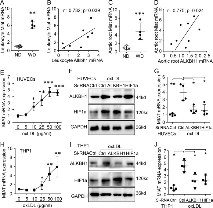 Regulation of myocardial infarction-associated transcript (MIAT) by ALKBH1 and HIF1α under ox-LDL treatment. a – d Miat mRNA relative expression and correlation with ALKBH1 level in leukocytes and aortic root tissue in WD-induced AS mice ( n = 4/group). e qRT-PCR assay of MIAT mRNA level with ox-LDL treatment in HUVECs. f , g Western blot assay of ox-LDL-induced ALKBH1 or HIF1α protein levels ( f ) and qRT-PCR assay of MIAT mRNA level ( g ) with siRNA targeting ALKBH1 or HIF1a pre-transfection in HUVECs. h qRT-PCR assay of MIAT mRNA level with ox-LDL treatment in THP1 cells. i , j Western blot assay of ox-LDL-induced ALKBH1 or HIF1α protein level ( i ) and qRT-PCR assay of MIAT mRNA level ( j ) with siRNA targeting ALKBH1 or HIF1a pre-transfection in THP1 cells. Data are mean ± SD ( n = 4/group) and were analyzed by one-way ANOVA, followed by Bonferroni's multiple comparison test. * P