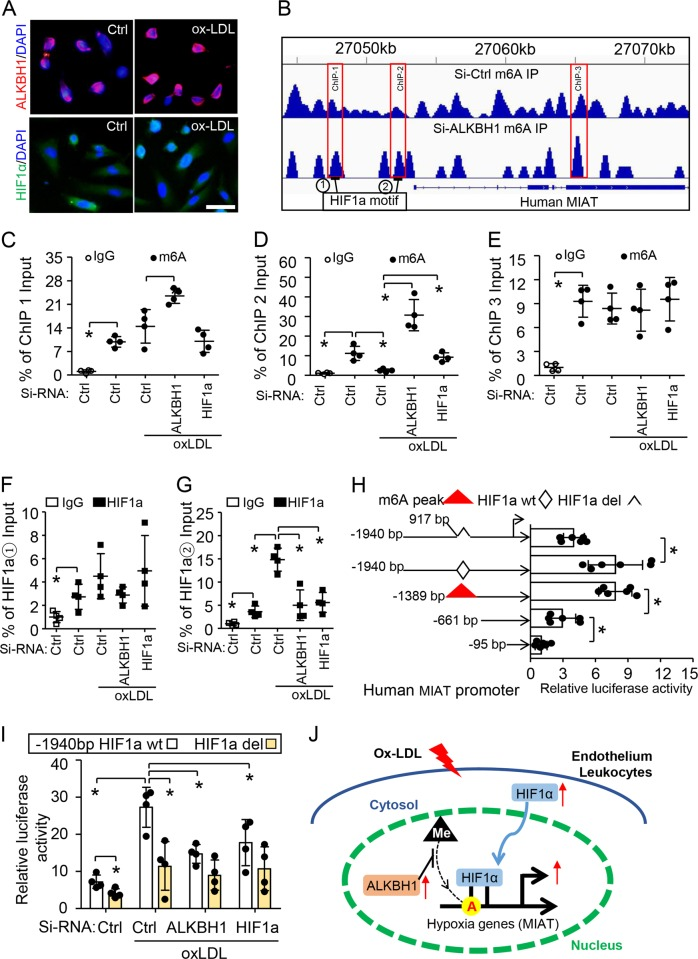 Ox-LDL-induced m6A demethylation promotes HIF1α binding to the MIAT promoter and enhances its activity. a Immunofluorescence staining of subcellular localization of ALKBH1 and HIF1α in HUVECs after treatment with 50 μg/ml ox-LDL. Scale bar: 50 µm. DAPI was a nuclear marker. b Integrative genomics viewer plots showing the increasing m6A peaks (labeled ChIP1–3) in human MIAT gene (hg19) region with ALKBH1 knockdown by siRNA. Two HIF1α motifs on MIAT promoter are numbered. c – h Chromatin immunoprecipitation (ChIP) assay with m6A ( c – e ) or HIF1α ( f , g ) antibody used for immunoprecipitation on MIAT fragments in treated HUVECs; normal IgG was an IP control ( n = 4 per group). h Serial deletion constructs of MIAT-Luc with or without HIF1α deletion and pRL vectors were co-transfected into HUVECs. Relative promoter activities were measured by dual-luciferase reporter assay, normalized to Renilla activity ( n = 5 per group). i Elevated luciferase activity in ox-LDL-treated HUVECs prevented by pre-treatment with Si-RNA-ALKBH1 or HIF1α for MIAT plasmids with HIF1α motif ( n = 4 per group). Data are mean ± SD and were analyzed by one-way ANOVA, Tukey's test for ( c – i ). * P