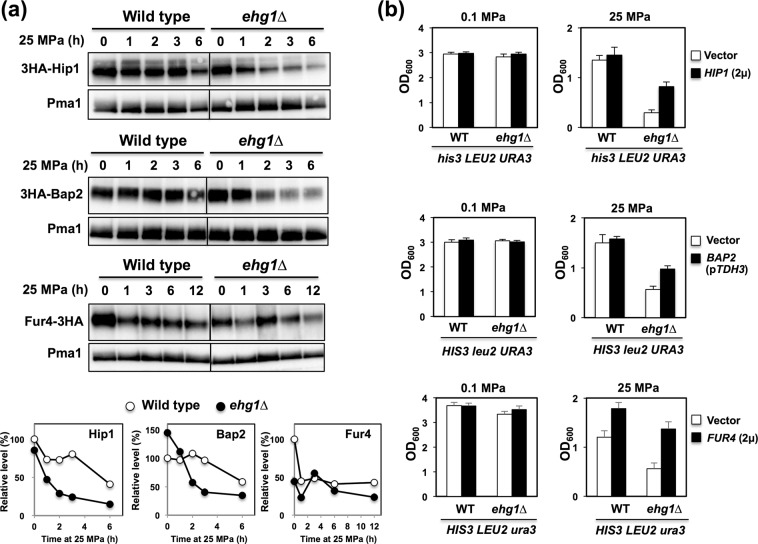 Expression of nutrient permeases and restoration of the high-pressure growth ability in the ehg1 ∆ mutant. ( a ) The wild-type strain and the ehg1 ∆ mutant expressing 3HA-Hip1, 3HA-Bap2 or Fur4-3HA were cultured at 0.1 MPa or 25 MPa, and the P13 membrane fractions were subjected to Western blot analysis. Pma1 was used as a loading control. The levels of the nutrient permeases were quantified in an ImageQuant LAS4000 mini. ( b ) The cells expressing HIP1 or FUR4 in a multicopy plasmid or BAP2 driven by the TDH3 promoter in a centromere-based plasmid were cultured at 0.1 MPa or 25 MPa for 24 h, starting at the OD 600 value of 0.1. Data are represented as means and standard deviations of three independent experiments.
