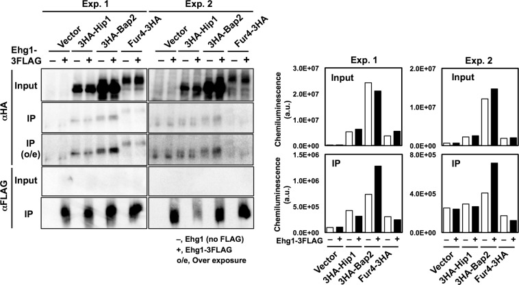 Co-immunoprecipitation of Ehg1 and nutrient permeases. The S13 fractions from the ehg1 ∆ cells expressing Ehg1-3FLAG and one among 3HA-Hip1, 3HA-Bap2, or Fur4-3HA were subjected to immunoprecipitation using anti-FLAG M2 magnetic beads. IP, immunoprecipitates; o/e, over exposure (left). The full-length images are shown in Figs. S8 and S9 . The signal intensities (arbitrary units) of the nutrient permeases were quantified in an ImageQuant LAS4000 mini with defined parameter settings for data collection (right). Data of two independent experiments (Exp.1 and 2) are shown.