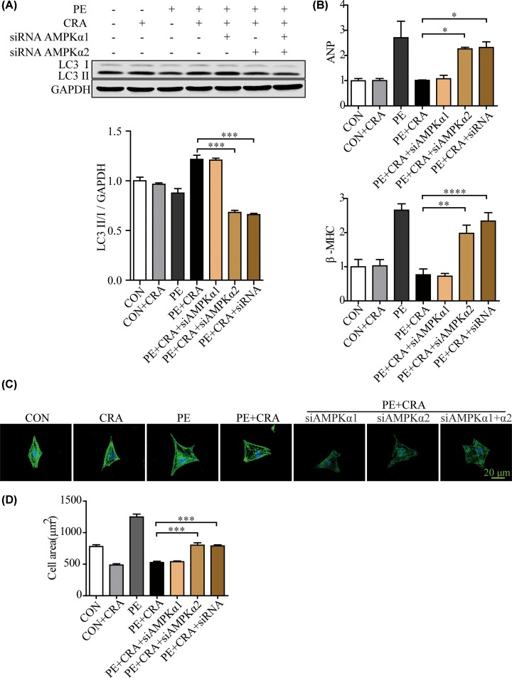 AMPK knockdown with AMPKα2 siRNA counteracted LC3 II expression increase and the hypertrophic response inhibition caused by CRA in PE-treated H9c2 cells ( A ) Representative blots and quantitative results for LC3 protein expression in H9c2 cells in each group ( n = 4 per group). ( B ) ANP and β-MHC mRNA expression in H9c2 cells in each group. ( C ) Representative imaging of immunostaining H9c2 cells for α-actinin (green) in each group. ( D ) Quantification of cell surface area ( n = 50 + cells per group); * P