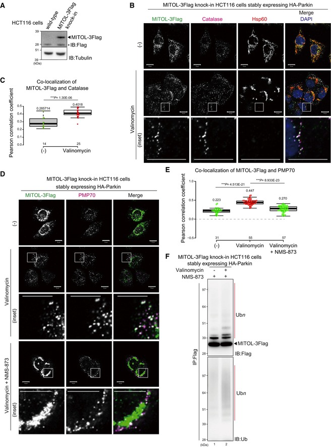 Endogenous MITOL translocates to peroxisomes To generate MITOL‐3Flag knock‐in (KI) HCT116 cell lines, 3xFlag gene cassettes were inserted upstream of the MITOL stop codon using CRISPR/Cas9‐based gene editing. Insertion of the 3Flag‐tag was verified by immunoblotting with an anti‐Flag antibody. Asterisk indicates a cross‐reacting band. The MITOL subcellular localization was observed in MITOL‐3Flag KI HCT116 cells stably expressing HA‐Parkin with anti‐Flag, anti‐catalase, and anti‐Hsp60 antibodies. Endogenous MITOL (detectable with an anti‐Flag antibody) overlapped with Hsp60 under steady‐state conditions, whereas 3 h of valinomycin (10 μM) treatment induced translocation of endogenous MITOL from mitochondria to peroxisomes. Higher magnification images of the boxed regions are shown in the bottom panel. Scale bars, 10 μm. Correlation statistics for the localization of endogenous MITOL‐3Flag with catalase. Dots indicate individual Pearson correlation coefficient data points. In the box‐plots, the center lines show the medians, box limits indicate the 25 th and 75 th percentiles as determined by the R software package, and whiskers extend 1.5 times the interquartile range from the 25 th and 75 th percentiles. Means and the number of samples are shown on the box and the X ‐axis, respectively. Statistical significance was calculated using a one‐tailed Welch's t ‐test. The extraction of endogenous MITOL from depolarized mitochondria is blocked by the p97/VCP inhibitor NMS‐873. Higher magnification images of the boxed regions are shown in the lower panel. Scale bars, 10 μm. Correlation statistics for the localization of endogenous MITOL and PMP70 in the presence of NMS‐873. Dots indicate individual Pearson correlation coefficient data points. In the box‐plots, the center lines show the medians, box limits indicate the 25 th and 75 th percentiles as determined by the R software package, and whiskers extend 1.5 times the interquartile range from the 25 th and 75 th percentile