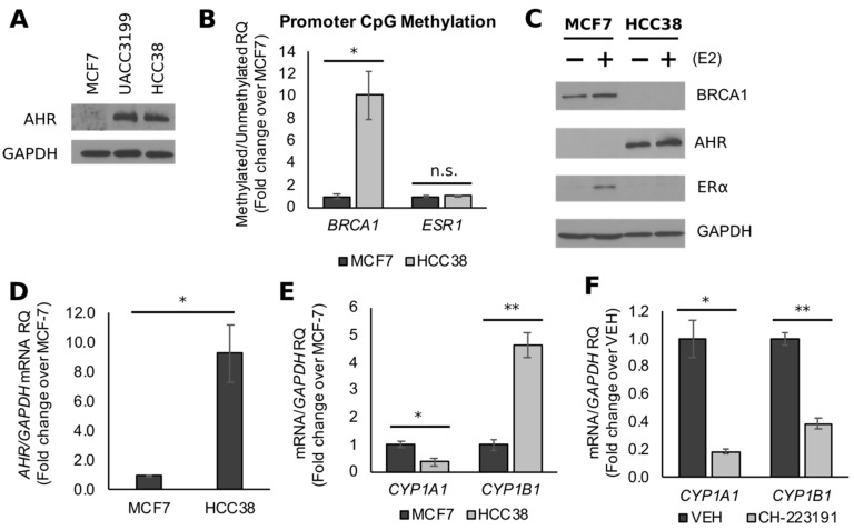 BRCA1 CpG hypermethylation associates with constitutively active AHR in triple negative breast cancers (TNBC) cells. ( A ) Representative Western blot images comparing immunocomplexes of AHR and internal standard glyceraldehyde 3-phosphate dehydrogenase <t>(GAPDH)</t> in HCC38 and UACC3199 cells. ( B ) Data from methylation-specific PCR (MSP) comparing BRCA1 and ESR1 CpG methylation in HCC38 and MCF7 cells. ( C ) Bands represent immunocomplexes for BRCA1, estrogen receptor (ER)α, AHR, and internal standard GAPDH in MCF7 and HCC38 cells. ( D ) Comparison of AHR mRNA expression in HCC38 and MCF7 cells. ( E ) Expression of AHR targets CYP1A1 and CYP1B1 in HCC38 and MCF7 cells. ( F ) CYP1A1 and CYP1B1 expression in HCC38 cells treated with the AHR antagonist CH-223191. Bars represent sample means ± SEM from ≥3 biological replicates from individual experiments. VEH: vehicle-treated control. Asterisks indicate significant differences (*, p