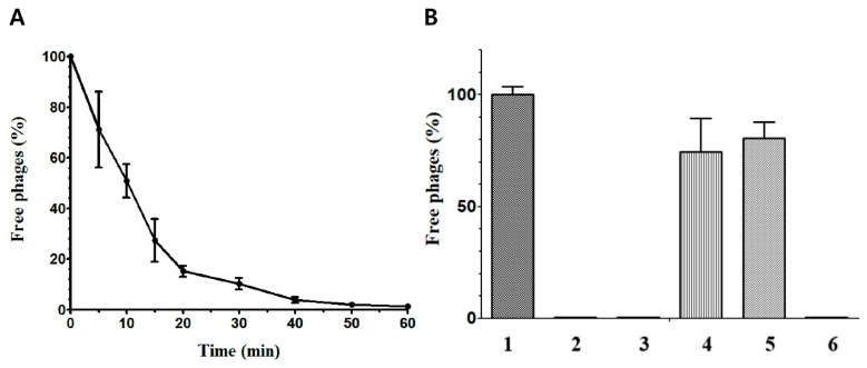 CPS1 binds to polysaccharides on the cell surface. ( A ) CPS1 adsorption assay with ATCC 13124. CPS1 was infected at 30 °C. It was found that 95% of CPS1 adsorbed in 40 min. ( B ) CPS1 adsorption assay with various treatment. 1: BHI (No cells), 2: untreated cells, 3: acetate treatment, 4: 10 mM periodate treatment, 5: 100 mM periodate treatment, 6: proteinase K treatment.