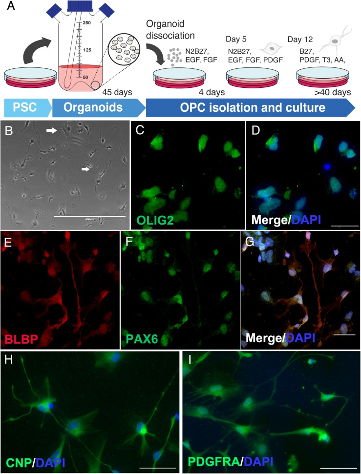 Oligodendrocyte progenitors derived from cerebral organoids. (A) Schematic representation of OPC isolation and culture. (B) Phase contrast of immature oligodendrocytes with initial ramifications (arrows in white). OPCs were stained for (C,D) olig2, oligodendrocyte lineage transcription factor, (E–G) BLBP and PAX6 progenitor markers, (H) CNPase (CNP), enzyme of early oligodendrocyte formation and myelin precursor, and (I) PDGFRA oligodendrocyte lineage marker. Scale bars shown are (B) 400 μm, (D,G) 30 μm and (H,I) 50 μm.