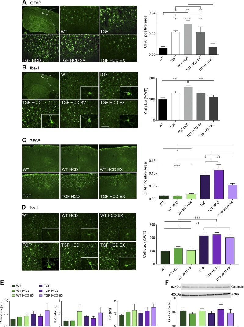 Neuroinflammatory responses in the cortex were not exacerbated by HCD. A , B ) Activation of cortical astrocytes and microglia as quantified with GFAP ( A ) and Iba-1 ( B ) immunostaining was significantly reduced by unlimited EX but not by SV (cohort 1). C – F ) When EX was limited (cohort 2), significant decreases were observed in cortical GFAP ( C ) but not in Iba-1 ( D ). E , F ) HCD did not exacerbate these pathologies that are already present in TGF mice in either cohort. IL levels of TNF-α, IL-1β, and IL-6 measured by ELISA were not different between groups ( E ), and no evidence of BBB damage was found when quantifying the tight junction protein occludin by Western blot ( F ) ( n = 4–5 mice/group). Scale bars, 100 μm for GFAP and Iba-1 (10 μm, inset). * P