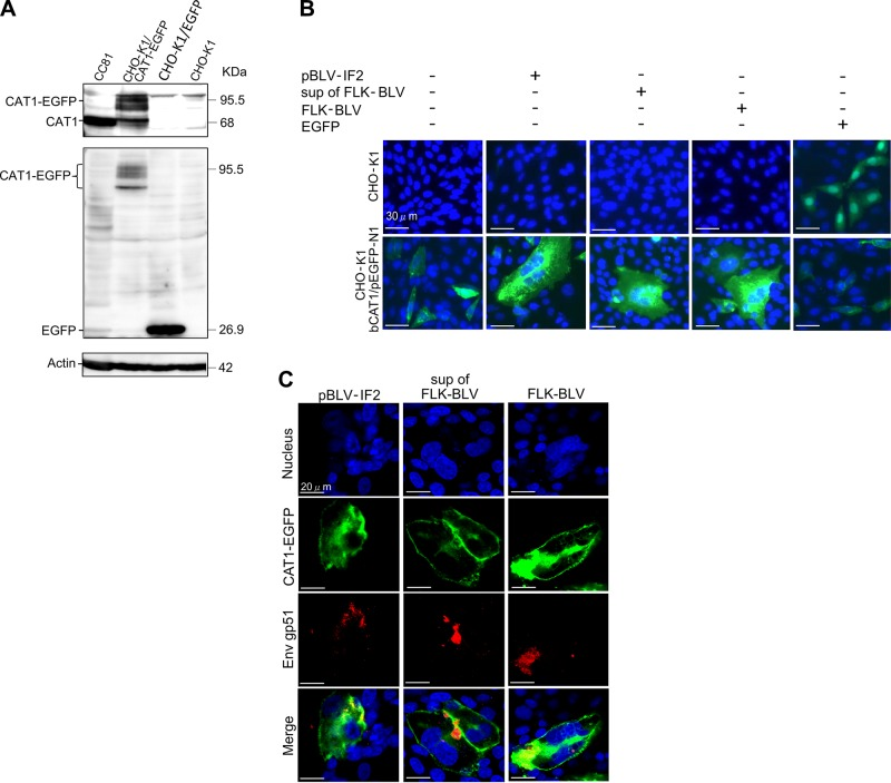 CAT1/SLC7A1 protein acted as a cellular receptor and was required for BLV infection. A ) Confirmation of the absence of endogenous CAT1 expression in CHO-K1 cells. CHO-K1 cells were transfected with and without bCAT1/pEGFP-N1 or with pEGFP-N1 as a negative control. The cell lysates were prepared 48 h post-transfection and then subjected to Western blot analysis using anti-CAT1 (upper panel), anti-EGFP (middle panel), and anti–β-actin (lower panel) antibodies. CC81 cell lysates were used as a positive control. The positions and MW of CAT1-EGFP, CAT1, EGFP, and actin are indicated. B ) bCAT1/SLC7A1 expression associated with BLV cell-free and cell-to-cell infection. CHO-K1 cells were transfected with bCAT1/pEGFP-N1 expression plasmid with or without the BLV infectious molecular clone pBLV-IF2 or cocultured with supernatants from FLK-BLV cells or FLK-BLV cells at 4 h post-transfection. CHO-K1 cells were transfected with bCAT1/pEGFP-N1 or with pEGFP-N1 as a negative control. After 48 h incubation, the cells were fixed with 3.7% formaldehyde and stained with 10 µg/ml Hoechst 33342. EGFP-expressing syncytia were evaluated and quantitated using EVOS2 fluorescence microscopy. C ) Detection of CAT1 and viral protein Env in syncytium. The transfected CHO-K1 cells were labeled with an anti-gp51 mAb (BLV-1) followed by incubation with <t>Alexa</t> <t>Fluor</t> 594 goat anti-mouse <t>IgG</t> (red). Nuclei were stained with Hoechst 33342 (blue). CAT1-EGFP was visualized to determine CAT1 expression (green) in the cells.
