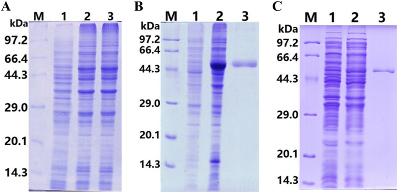 Expression and purification of rTsENO and M-rTsENO. A SDS-PAGE of rTsENO and M-TsENO expressed by recombinant plasmids. M: protein marker; 1: uninduced recombinant bacterial lysate; 2: induced recombinant pQE-80L/TsENO; 3: induced recombinant pQE-80L/M-TsENO. B SDS-PAGE of purified rTsENO. M: protein marker; 1: uninduced recombinant bacterial lysate; 2: induced recombinant pQE-80L/TsENO; 3: purified rTsENO (6 µg). C SDS-PAGE of purified M-rTsENO. M: protein marker; 1: uninduced recombinant bacterial lysate; 2: induced recombinant pQE-80L/M-TsENO; 3: purified M-rTsENO (2 µg).