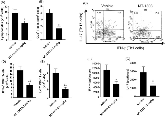 Effect of MT-1303 on infiltration of Th1 and Th17 cells into the lamina propria of the colon. MT-1303 or vehicle was orally administered to SCID mice every day from week 1 after CD4 + CD45RB high T cell transfer for 3–4 weeks. (A, B) The number of lymphocytes (A) and CD4 + T cells (B) in the lamina propria of the colon was measured using flow cytometry the day after the final administration. (C–E) LPLs were stimulated with PMA and ionomycin in the presence of brefeldin A for 6 h before intracellular cytokine staining was performed using anti-IFN-γ and anti-IL-17 mAbs (C). Th1 (D) and Th17 (E) cell counts in the lamina propria of the colon were determined. (F, G) After stimulation with PMA and ionomycin, the amount of IFN-γ (F) and IL-17 (G) in the culture supernatant was determined using a BD TM Cytometric Beads Array. Each bar represents the mean ± S.E.M. (n = 11: vehicle-treated group, n = 12: MT-1303-treated group). Statistical differences were determined using Student's t -test by comparing with the normal group (* p