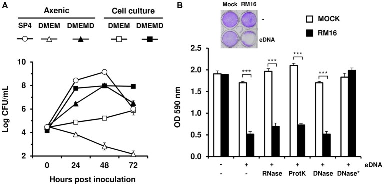 """The growth-promoting effect of eDNA on M. bovis . Comparative growth of M. bovis under axenic and cell culture conditions (A) . RM16 proliferation was monitored in SP4 medium (SP4), cell culture medium (DMEM), and cell culture medium supplemented with 10 μg/ml calf thymus DNA (DMEMD). Mycoplasma titers (log CFU/ml) were determined by CFU titrations. The cytopathic effect induced by M. bovis upon co-incubation with host cells (B) . EBL cells (10 4 cells) were inoculated with RM16 at an MOI of 2 (RM16) or mock-infected (Mock). After 72 h of co-incubation, monolayers were stained with crystal violet and survival cells were estimated by measuring the optical density at 590 nm (OD 590). When indicated, DMEM-based medium was supplemented with 10 μg/ml calf thymus DNA (eDNA). Calf thymus DNA was subjected to the following enzymatic treatments: RNase A (RNase), Proteinase K (ProtK) and DNase I (DNase) digestion (see section """"Materials and Methods""""). The asterisk indicates that polynucleotides were removed from DNase I digestion products (DNase*). Infected and mock-infected samples were treated identically. Data are the means of at least three independent assays. Standard deviations are indicated by error bars. p -values were determined by using two-sided independent sample t tests and comparing OD590 values of RM16-infected samples to those of mock-infected samples ( *** p"""