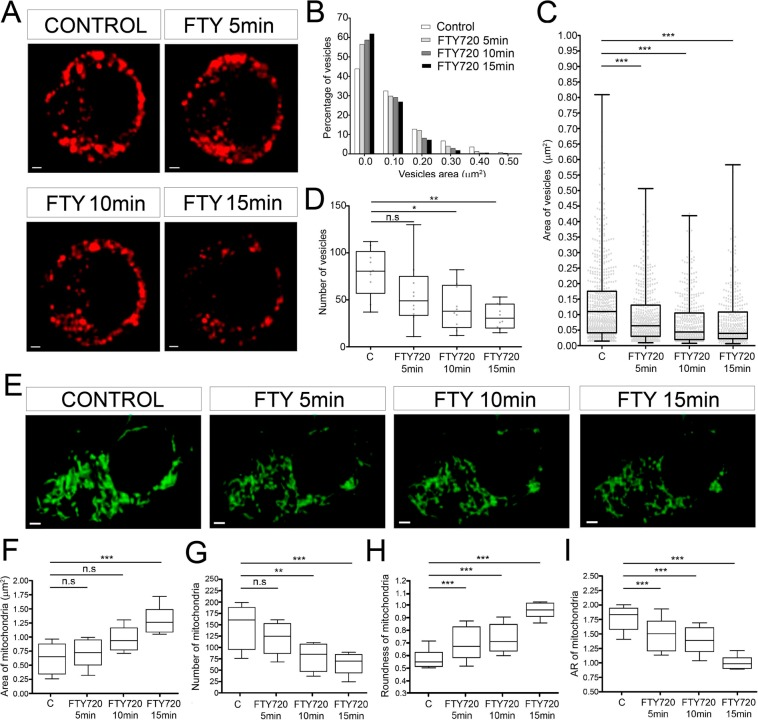 Morphometric changes of vesicles and mitochondria in control and FTY-720 treated cells. ( A ) Time-lapse confocal fluorescence microscopy of a representative cultured chromaffin cell expressing RFP-NPY (red) to show vesicles from control and FTY-720 treated cells (5, 10 and 15 min). ( B ) Vesicular size frequency distribution comparing all conditions ( C ; FTY720 5,10 and 15 min) by size. ( C,D ) Box and whiskers and scatter plot vertical graphs of vesicle area ( C ) and number ( D ) by condition (N = 10 cells; N control = 686, N FTY720 5min = 554, N FTY720 10min = 419, N FTY720 15min = 393 vesicles). (E ) Time-lapse confocal fluorescence microscopy images from a representative live cultured chromaffin cell labeled with MitoTracker green to identify the mitochondria in control and FTY-720 treated cells (5, 10 and 15 min). ( F–I ) Box and whiskers vertical graphs of the mitochondrial area ( F ), number ( G ), roundness ( H ) and aspect ratio ( I ) per condition (N = 5 cells: N control = 804, N FTY720 5min = 621, N FTY720 10min = 424, N FTY720 15min = 350 mitochondria). Box and whiskers graph shows the mean as the central box line, the SEM as the box limits (top and bottom) and the amplitude variability through the whiskers (box emergent lines). Statistical significance was assessed by a Kruskal-Wallis Test: n.s., non-significant (P ≥ 0.05), *P ≤ 0.05, **P ≤ 0.01, ***P ≤ 0.001. Scale bars represent 1 μm.