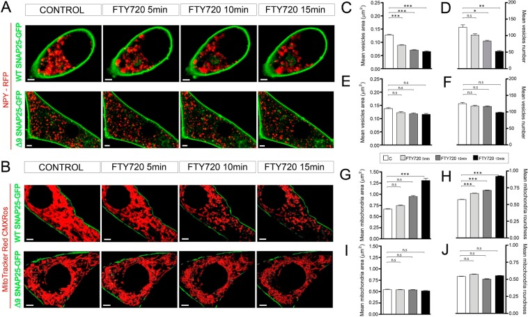 SNAP-25 is involved in organelle fusion induced by FTY-720. ( A,B ) Time-lapse confocal fluorescence microscopy images from representative cultured chromaffin cells expressing WT and the truncated form GFP-SNAP-25 ∆9 (green), combined with RFP-NPY (red) expression to show vesicles ( A ) and MitoTracker Red CMXRos labeling to detect mitochondria ( B ), in control cells and after FTY-720 treatment (5, 10 and 15 min). ( C,D ) Mean ± SEM values of vesicular area ( C ) and number ( D ) for WT SNAP-25 cells (N = 5 cells: N control = 686, N FTY720 5min = 507, N FTY720 10min = 419, N FTY720 15min = 263 vesicles). ( E-F ) Mean ± SEM values of vesicular area ( E ) and number ( F ) for ∆9 SNAP-25 cells (N = 5 cells: N control = 601, N FTY720 5min = 587, N FTY720 10min = 584, N FTY720 15min = 490 vesicles). ( G,H ) Mean ± SEM values of mitochondrial area ( G ) and roundness ( H ) for WT SNAP-25 cells (N = 5 cells: N control = 665, N FTY720 5min = 612, N FTY720 10min = 420, N FTY720 15min = 341 mitochondria). ( I,J ) Mean ± SEM values of mitochondria area ( I ) and roundness ( J ) for ∆9 SNAP-25 cells (N = 5 cells: N control = 579, N FTY720 5min = 582, N FTY720 10min = 557, N FTY720 15min = 497 mitochondria). Statistical significance was assessed with a Two-way ANOVA Test: n.s. non-significant (P ≥ 0.05), *P ≤ 0.05, **P ≤ 0.01, ***P ≤ 0.001. Scale bars represent 1 μm.