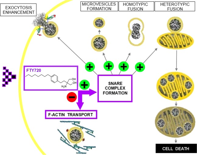 A new mechanism of action for FTY-720 affecting neuroendocrine function and cell death. FTY-720 accumulates in the cell cytoplasm where it can promote SNARE complex assembly and reduce F-actin mobility, thereby limiting vesicle transport to the plasma membrane for secretion. SNARE complex enhancement mediates intracellular vesicle fission. Vesicles could fuse among themselves (homotypic fusion) or with mitochondria (heterotypic fusion). Mixed organelles cannot maintain their membrane potential, leading to cell death.+Indicates potentiation and − reduction.