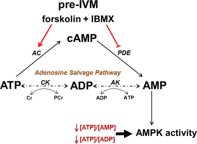 Cellular adenosine metabolism in relation to cAMP-elevating pre-IVM treatment. COC cAMP increases during the peri-ovular period and through pharmacological elevation during pre-IVM. Cyclic AMP is generated by adenylate cyclase (AC) from its substrate ATP and is hydrolysed to AMP by phosphodiesterases (PDE). AMP can be recycled to ATP via the adenosine salvage pathway. The energy sensing enzyme AMP-activated protein kinase (AMPK) is activated by shifts in ATP:AMP and ATP:ADP ratios. CK, creatine kinase; AK, adenylate kinase; Cr, creatine; PCr, phosphocreatine; IBMX, 3-isobutyl-1-methylxanthine; IVM, oocyte in vitro maturation.