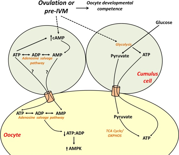 Hypothesised model of the impact of cAMP modulation in the cumulus-oocyte complex on oocyte energy production. Oocyte meiotic resumption and pharmacological cAMP upregulation via pre-IVM generate AMP from cAMP in cumulus cells which can be used via the adenosine salvage pathway to regenerate ATP in the oocyte. Upregulation of cAMP in the cumulus-oocyte complex leads to a decrease in intra-oocyte ATP, decreasing the ATP:ADP ratio and upregulating AMPK protein expression to restrain energy depletion. Pre-IVM also increases COC ATP by stimulating cumulus cell glycolysis. TCA, tricarboxylic acid cycle; OXPHOS, oxidative phosphorylation; AMPK, AMP-activated protein kinase.