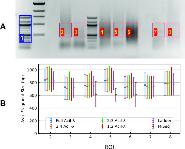 Data used to examine the effect of fragment-density test. ( A ) The gel was analyzed considering the portions delimited by the ROIs, using lane 1 (blue) as the reference ladder. ROIs 2–6 are tagmentation products of human genomic DNA; 7 and 8 are λ- Aci I digest samples ( B ). Summary plot of the fit for the gel in panel (A). Fragment-size mean and standard-deviation values for model distributions containing varying numbers of reference fragments (peaks). Symbols are colored according to the proportion of the original λ- Aci I basis fragments retained in the reference distribution; thus, 1:2 means that every other peak was eliminated from the fit, 2:3 every third peak etc. Data are also reported in Supplementary Table S4 .