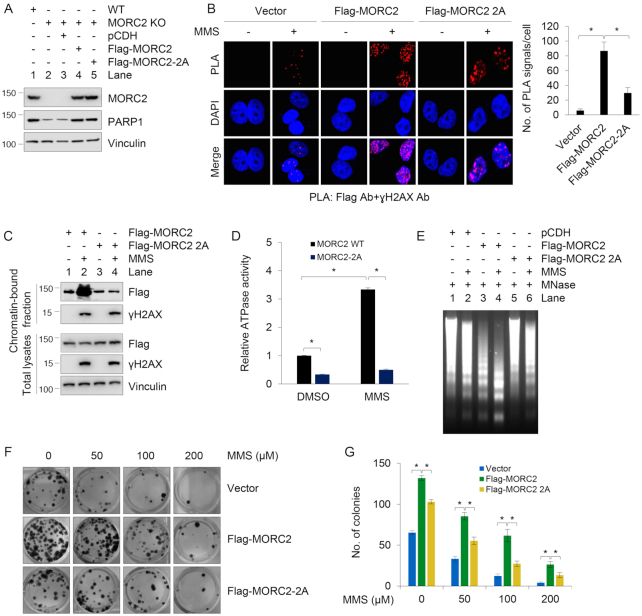 PARP1 recruits MORC2 to DNA damage sites and PARylation of MORC2 stimulates its chromatin remodeling activities. ( A ) Reconstitution of MORC2 KO MCF-7 cells with Flag-MORC2 and Flag-MORC2–2A by lentiviral infection. Expression status of exogenous and endogenous MORC2 was validated by immunoblotting. ( B ) MCF-7 KO cells stably expressing pCDH, Flag-MORC2 and Flag-MORC2–2A were treated with or without 1 mM MMS for 30 min, and then subjected to in vivo PLA assays with indicated antibodies. Three independent experiments were performed, and total 50 cells were counted for each experiment. ( C ) MCF-7 KO cells stably expressing Flag-MORC2 and Flag-MORC2–2A were treated with or without 1 mM MMS for 30 min, and subjected to cellular fractionation as described in 'Materials and Methods' section. Chromatin-bound fractions and total cellular lysates from undamaged and DNA damaged cells were immunoblotted with the indicated antibodies. ( D ) MCF-7 KO cells stably expressing Flag-MORC2 and Flag-MORC2–2A were treated with or without 1 mM MMS for 30 min. Immunoprecipitated Flag-MORC2 or Flag-MORC2–2A was subjected to ATPase assays using the ATPase/GTPase Activity Assay Kit (Sigma). Data represent mean ± s.d. from three biologically independent experiments. ( E ) MCF-7 KO cells stably expressing pCDH, Flag-MORC2 and Flag-MORC2–5A were treated with or without 1 mM MMS for 30 min. Isolated nuclei were subjected to MNase assays as described in 'Materials and Methods' section. ( F and G ) MCF-7 KO cells stably expressing pCDH, Flag-MORC2 and Flag-MORC2–2A were treated with or without increasing doses of MMS for 2 weeks. The representative images of Crystal Violet-stained colonies are shown in F. Quantitative results (G) are represented as mean ± s.d. as indicated from three independent experiments; *, P