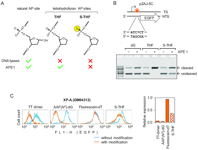 Impairment of transcription by BER-resistant AP lesion positioned at a specific nucleotide in the transcribed strand of the EGFP gene. ( A ) Structures of synthetic tetrahydrofuran (THF and S-THF) AP lesions and reactivity of BER enzymes towards the specified types of AP sites. ( B ) Characterization of reporter constructs containing deoxyguanine (dG) or the specified types of AP lesion at a defined nucleotide (*) in the transcribed DNA strand (TS). Scheme shows position for incorporation of synthetic oligonucleotides containing dG, THF or S-THF with respect to EGFP coding sequence (arrow) and transcription start (broken arrow). To demonstrate the presence of AP lesion, the obtained constructs were incubated with excess of APE1 and analysed by gel electrophoresis in the presence of ethidium bromide. See also Supplementary Figure S1 for more detail. ( C ) Flow cytometry analyses of expression of constructs containing specified modifications in transfected XP-A (GM04312) cells (a representative experiment). EGFP fluorescence distribution plots show expression data overlaid pairwise for each modification and the respective control constructs without modification. Bar chart on the right shows quantification of the EGFP expression, relative to the matched control constructs without the modifications.