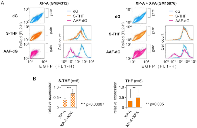 Reactivation of expression constructs containing AP lesions by complementation with XPA. ( A ) Flow cytometry expression analyses of constructs containing dG (blue colour), S-THF (amber) or AAF( N 2 )-dG (rose) at the analysed position in transcribed DNA strand of the EGFP gene. Fluorescence scatter plots show co-expression of EGFP with DsRed (as a marker for transfected cells). Cells were gated by DsRed expression to generate fluorescence distribution plots, which show S-THF and AAF( N 2 )-dG samples overlaid with a common dG reference sample. ( B ) Quantification of expression of constructs containing the specified AP lesions (S-THF or THF), relative to the dG reference (mean of six independent experiments ± SD; P -values calculated by the Student's t -test). See also Supplementary Figure S2 .