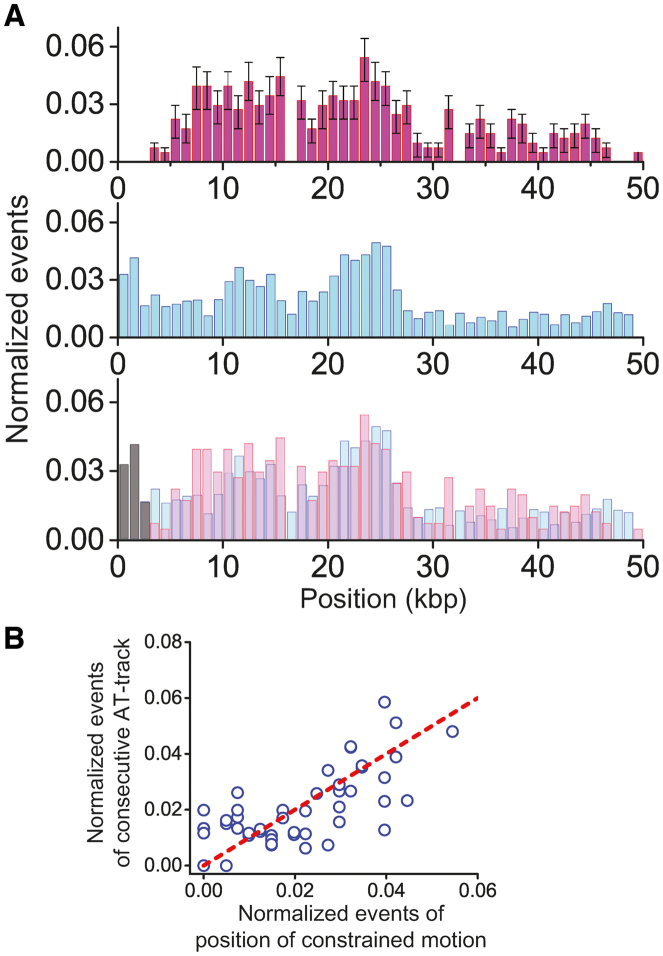 Nature of constrained motion ( A ) The position distribution of the constrained motion and immobile state and locations of consecutive AT-tracks in λ-DNA. Top: the distribution histogram of positions where both constrained and immobile species appear on undamaged λ-DNA. Middle: the distribution histogram of consecutive AT-tracks greater than 4 bp in the λ-DNA (bin size: 1 kbp). Bottom: the overlap of the above two histograms. ( B ) Correlation analysis of the positions of constrained and immobile species relative to the locations of consecutive AT-tracks. The red dashed line represents the perfect positive correlation. Pearson correlation coefficient is 0.7 with 10 −8 P -value.