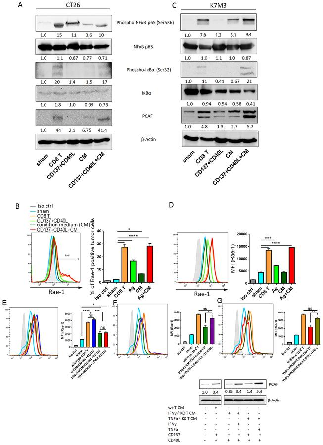 Inflammatory cytokines are crucial for CD8 + T cell–mediated Rae-1 upregulation on tumor cells. (A-D) CT26 (A-B) and K7M3 (C-D) cells were co-cultured with stimulated CD8 + T cells or, for comparison, treated with TNFSRF CD137 and CD40 ligand recombinant proteins (Ag) in the presence or absence of CD8 + T cell–conditioned medium (CM). NF-κB signaling and Rae-1 expression were assessed via immunoblotting (A, C) and flow cytometry (B, D), respectively. MFI, mean fluorescence intensity. Bar graphs show means ± SEM. Values under each band indicate the density of protein expression. Results are representative of three repeated experiments. (E) LLC tumor cells were labeled with CFSE and cultured in medium conditioned with wildtype CD8 + T cells, IFNγ-knockout (KO) CD8 + T cells, or TNFαKO CD8 + T cells in the presence of recombinant CD40L (0.5 μg/mL) and CD137 (10 μg/mL) proteins. LLC cells alone were used as a negative control, and LLCs co-incubated with wildtype CD8 + T cells were used as a positive control. Rae-1 expression was determined by using flow cytometry. (F, G) LLC cells were labeled with CFSE and cultured in IFNγKO CD8 + T cell CM (F) or TNFαKO CD8 + T cell CM (G) in the presence or absence of IFNγ (10 ng/mL) (F) or TNFα (10 ng/mL) (G), respectively. LLC cells alone were used as a negative control, and LLCs co-incubated with wildtype CD8 + T cells were used as a positive control. Rae-1 expression was determined by using flow cytometry. iso ctrl: isotype control. Immunoblots of PCAF after each treatment was at the bottom panel. Bar graphs show means ± SEM. Results are representative of three repeated experiments. * P