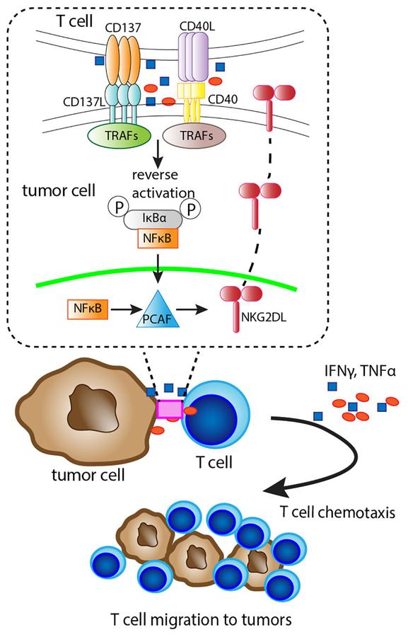 Illustration of the mechanism of CD8 + T cell engagement-induced Rae-1 expression on tumor cells. Rae-1 upregulation was through CD137L/CD40 downstream NF-κB signaling and PCAF activation on tumor cells.