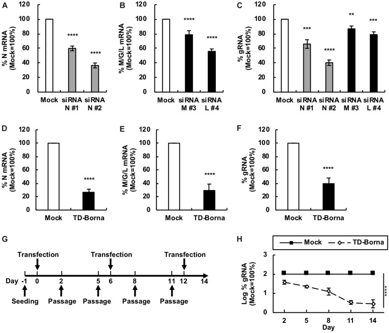 Reduction in the <t>BoDV-1</t> load by siRNAs targeting N and M/G/L mRNAs. (A,B) Effects of siRNAs targeting BoDV-1 mRNAs on BoDV-1 mRNA amounts. 293T/BoDV cells were treated with the indicated siRNA for 2 days. The amounts of N (A) and M/G/L (B) mRNAs in 293T/BoDV cells were determined by <t>RT-qPCR</t> analyses. (C) Effects of siRNAs targeting BoDV-1 mRNAs on BoDV-1 replication. The amount of BoDV-1 gRNA in 293T/BoDV cells was determined by RT-qPCR analyses. (D,E) Effects of the siRNA cocktail (TD-Borna) targeting BoDV-1 N and M/G/L mRNAs on BoDV-1 mRNAs. 293T/BoDV cells were treated with TD-Borna for 2 days. The amounts of N (D) and M/G/L (E) mRNAs in 293T/BoDV cells were determined by RT-qPCR analyses. (F) Effects of TD-Borna on BoDV-1 replication. The amount of BoDV-1 gRNA in 293T/BoDV cells was determined by RT-qPCR analyses. (G) Protocol for long-term TD-Borna treatment in 293T/BoDV cells. 293T/BoDV cells were seeded in 12-well plates (2 × 10 5 cells/well) on Day –1. TD-Borna was transfected on Days 0, 6, and 12. The cells were passaged into new 12-well plates (2 × 10 5 cells/well) every 3 days. (H) Effects of long-term TD-Borna treatment on BoDV-1 replication. The amount of BoDV-1 gRNA in 293T/BoDV cells was determined by RT-qPCR analyses. Mock, the scrambled siRNA-treated control. Values are expressed as the mean ± SE of three independent experiments. ∗∗ P