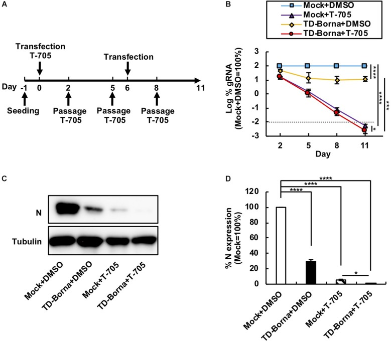 Reduction in the BoDV-1 load by the combined use of T-705 and TD-Borna. (A) Protocol for long-term treatment using T-705 and TD-Borna in 293T/BoDV cells. 293T/BoDV cells were seeded in 12-well plates (2 × 10 5 cells/well) on Day –1. TD-Borna was transfected on Days 0 and 6. On Day 0, T-705 was added at 1 h after the transfection. The cells were passaged into new 12-well plates (2 × 10 5 cells/well) with or without T-705 on Days 2, 5, and 8. (B) Effects of long-term treatment with T-705 and TD-Borna on BoDV-1 replication. The amount of BoDV-1 gRNA in 293T/BoDV cells was determined by RT-qPCR analyses. (C) The amount of the N protein in 293T/BoDV cells treated with T-705 and TD-Borna. 293T/BoDV cells were treated as indicated in panel (A) . After 5 days of treatment, the amount of the N protein was determined by western blotting using anti-N and anti-tubulin antibodies. (D) Quantification of the amount of the N protein in panel (C) . The band intensity of the N protein in each sample was normalized with that of tubulin. Mock, the scrambled siRNA-treated control. Values are expressed as the mean ± SE of three independent experiments. ∗ P