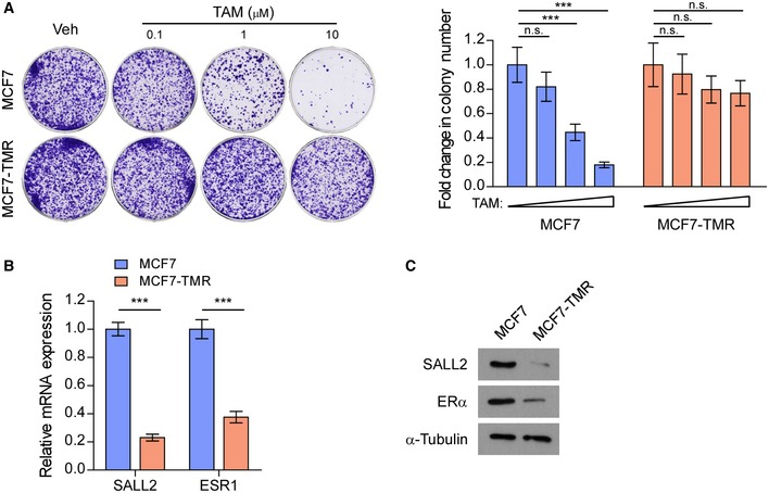 Establishing MCF 7/tamoxifen‐resistant ( MCF 7‐ TMR ) cell line Representative images (left panel) and quantification (right panel) of colony formation by MCF7 and MCF7‐TMR cell lines with increasing doses of tamoxifen (TAM) treatment. qRT–PCR analysis of SALL2 and ESR1 expression in MCF7 and MCF7‐TMR cell lines. GAPDH was used as an internal control. WB analysis of SALL2 and ERα expression in MCF7 and MCF7‐TMR cell lines. α‐Tubulin was used as a loading control. Data information: In (A), data are presented as mean ± SD, and P ‐values were determined by one‐way ANOVA test, n = 3. In (B), data are presented as mean ± SD, and P ‐values were determined by two‐tailed Student's t ‐test, n = 3. *** P