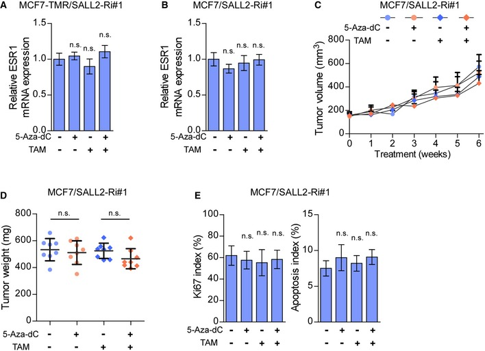 Overexpression of SALL 2 restores sensitivity of resistant breast cancer cells to tamoxifen qRT–PCR analysis of ESR1 expression in the MCF7‐TMR/SALL2‐Ri#1 cells (A) and MCF7/SALL2‐Ri#1 cells (B) with the indicated treatments. GAPDH was used as an internal control. Tumor growth curves of the indicated MCF7/SALL2‐Ri#1/xenograft tumors ( n = 8/group) upon 5‐Aza‐dC and TAM treatment. 5‐Aza‐dC treatment was started when the tumors reached approximately 200 mm 3 . Quantification of xenograft tumor weight at the end of the experiment shown in (C) ( n = 8/group). The proliferation index was determined using the percentage of Ki67‐positive cells, and the apoptosis index was determined using the percentage of TUNEL‐positive cells, in the MCF7/SALL2‐Ri xenograft tumors upon 5‐Aza‐dC and TAM treatment ( n = 8/group). Data information: In (A, B, D, and E), data are presented as mean ± SD, and P ‐values were determined by one‐way ANOVA test, n = 3 in (A and B). In (C), data are presented as mean ± SD, and P ‐values were determined by two‐way ANOVA test. n.s., no significance. Exact P ‐values are specified in Appendix Table S10 .