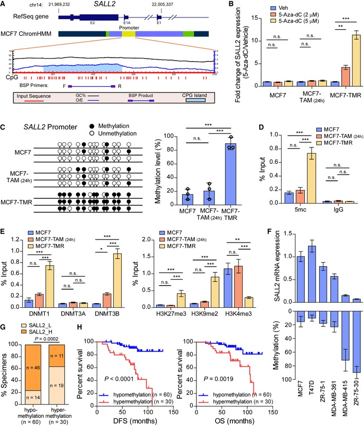 SALL 2 promoter is methylated in tamoxifen‐resistant breast cancer Color coding of the ChromHMM regions in MCF7 cells obtained from GEO (GSE69118): yellow, promoter; green, enhancer; light blue, transcribed; and blue, un‐transcribed. BSP primers were designed to amplify the sequence in the predicted CpG island region. qRT–PCR analysis of SALL2 expression in the indicated cells treated with vehicle or 5‐Aza‐dC. GAPDH was used as an internal control. BSP analysis (left panel) and quantification (right panel) of the methylation status of SALL2 gene in the indicated cells. ChIP analyses of enrichment of 5mc (D) and DNMTs and histone modifications (E) on the SALL2 promoter. qRT–PCR analysis of SALL2 expression (upper panel) and BSP analysis of SALL2 methylation status (lower panel) in 6 ER + breast cancer cell lines. GAPDH was used as an internal control. Bar graph showing negative correlation of SALL2 DNA methylation level with SALL2 expression analyzed by IHC staining. Kaplan–Meier analysis of DFS (left panel) or OS (right panel) curves in tamoxifen‐treated patients with SALL2‐hypomethylated and SALL2‐hypermethylated ER + breast cancer. Data information: In (B–E), data are presented as mean ± SD, and P ‐values were determined by one‐way ANOVA test, n = 3. In (F), data are presented as mean ± SD, n = 3. In (G), n = 90, P ‐values were determined by χ 2 test. In (H), n = 90, log‐rank test. * P