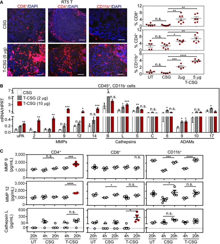 TNFα‐CSG (T‐CSG) treatment promotes immune cell infiltration and induces them to secrete proteases Left panels: Representative micrographs of immune cell infiltrates (red) in tumours from RIP1‐Tag5 mice untreated (UT) or treated with 5 daily i.v. injections of indicated compounds. Scale bars: 100 μm. Right panels: fraction of cells stained with the indicated antibodies/tumour and mean ± SEM (4–7 tumours from n = 3 mice; * P