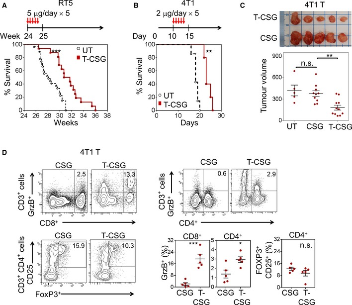 TNFα‐CSG therapy enhances survival, suppresses tumour growth and generates intratumoral effector T cells Per cent survival of mice bearing RIP1‐Tag5 and 4T1 tumours, either untreated or treated according to the schedule depicted ( n = 16–27 for RIP1‐Tag5 and n = 5 for 4T1; ** P
