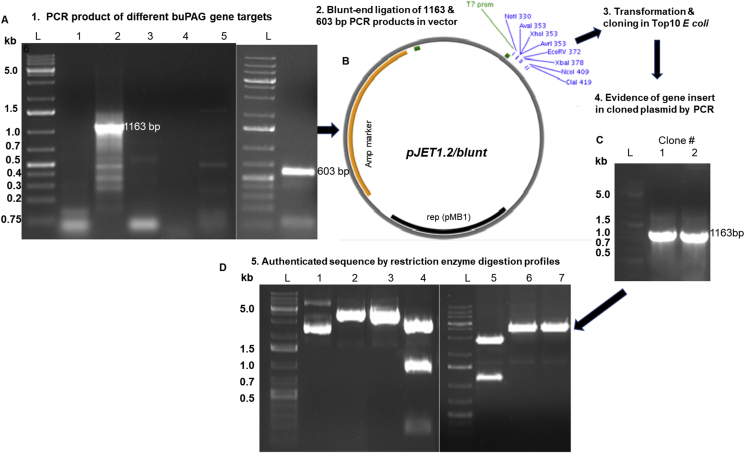 (A) Amplification of PAG in buffalo cotyledon and non-pregnant endometrium samples using single L and four right (R1-R4) primer pairs. Lanes: 1-RNA, 2-L-R1, 3-L-R2, 4-L-R3, 5-L-R4, L- DNA ladder (Gene Ruler™ 1kb DNA Ladder Plus cat no N3232S, NEB, USA); (B) Cloning of 1163 and 603bp PCR products in pJET1.2 vector; (C) Amplification of isolated plasmids by gene-specific primers; (D) restriction enzymes digestion results of positive plasmids (L: DNA ladder, lane 1: uncut cloned vector, 2: BamH I digest (single cut), 3: Sal I digest (single cut), 4: Xho I digest (3 cut sites:1164bp, 990bp and 170bp products), 5: Bgl II digest (3 cut sites-1194bp, 1069bp and 113bp products), 6: Eag I digest (single cut) and 7: Pme I digest (single cut) indicating the authenticity of sequence reads.