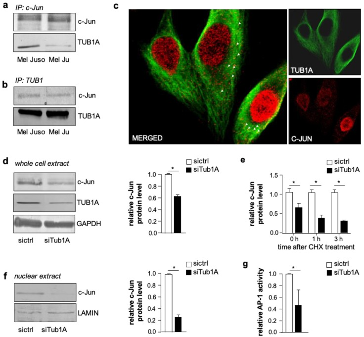 c-Jun protein interacts with TUB1A (Tubulin alpha chain) in melanoma cells and TUB1A affects AP-1 activity and stabilizes c-Jun protein. ( a , b ) Immunoprecipitation (IP) analyses of melanoma cell (Mel Juso, Mel Ju) lysates revealed co-precipitation of TUB1A with an ( a ) anti-c-Jun antibody and vice versa, ( b ) c-Jun with anti-TUB1A antibody. ( c ) Immunofluorescence analyses showed co-localization (white arrows) of c-Jun (red) and TUB1A (green) in the cytoplasm of melanoma cells. ( d ) Western blot analyses and densitometry of c-Jun and TUB1A in whole cell lysates of Mel Juso cells after TUB1A si-RNA (siTub1A) or control si-RNA (sictrl) transfection. GAPDH (Glyceraldehyde-3-Phosphate Dehydrogenase) was used as a loading control. The bar graph depicts the quantification of protein amounts (mean ± s.d.) of three independent experiments. ( e ) Analyses of c-Jun protein expression in TUB1A-suppressed (siTub1A) and control (sictrl) Mel Juso cells after cycloheximide (CHX) treatment showed a faster decline of c-Jun levels in siTub1A compared to control cells. The bar graph (mean ± s.d. of three western blot analyses) depicts c-Jun levels normalized to GAPDH. ( f ) Western blot analyses and densitometry of nuclear extracts of Mel Juso cells showed lower c-Jun protein levels in TUB1A-suppressed (siTub1A) compared to control (sictrl) cells. The bar graph depicts c-Jun levels of three western blot analyses relative to LAMIN (Lamin A/C), which was used as a loading control. ( g ) AP-1 luciferase reporter gene analyses showed reduced AP-1 activity in TUB1A-suppressed (siTub1A) Mel Juso cells compared to control (sictrl) cells. Bars show the means ± s.d. of three independent experiments; measurements were performed in replicates. (*: p