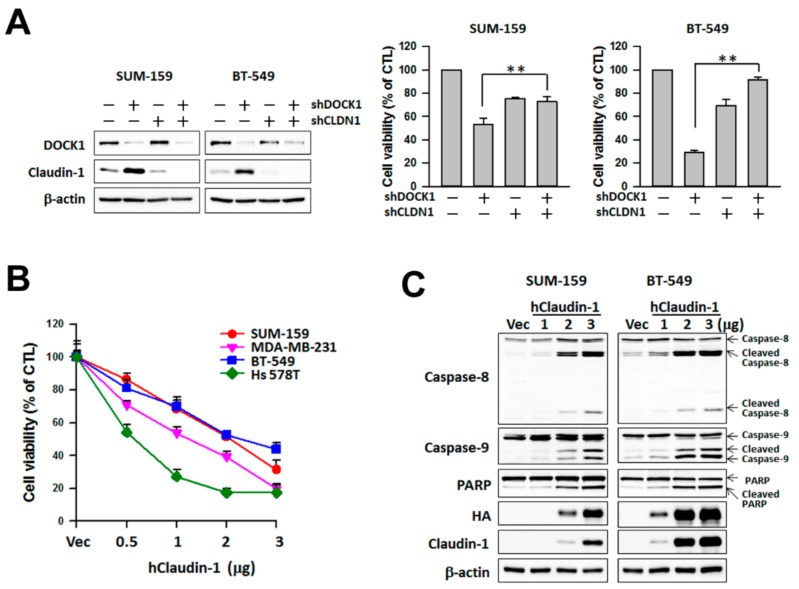 Up-regulation of claudin-1 mediates cell viability suppressed by DOCK1 deletion in claudin-low breast cells. ( A ) The knockdown of claudin-1 attenuates the shDOCK1-inhibited cell viability. Claudin-low breast cancer cells were treated with shDOCK1 and/or sh CLDN1 for three days. Cells were harvested to measure protein expression and cell viability. The results are expressed as the mean ± SE from three independent experiments. ** p