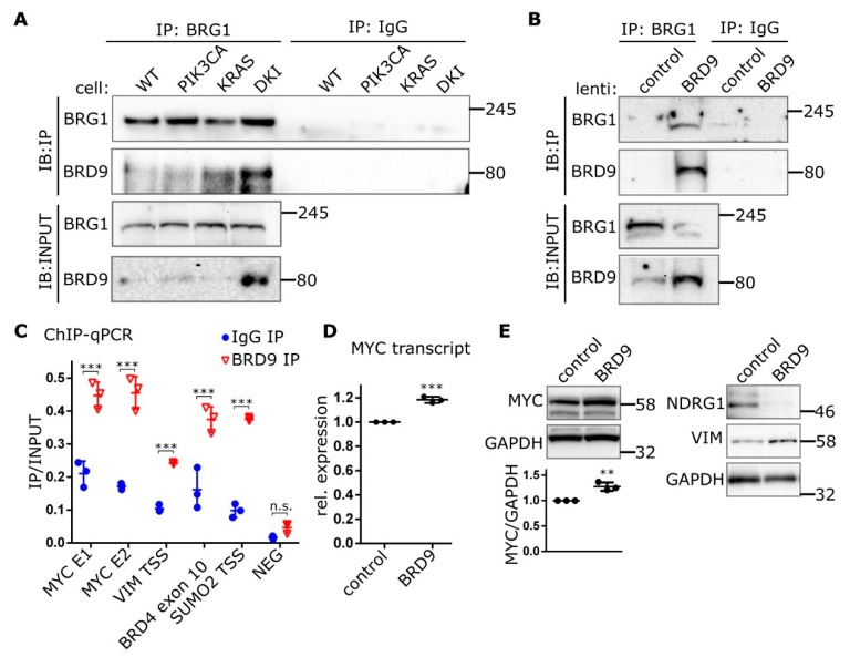 BRD9 is part of the SWI-SNF complex and binds MYC enhancer sequences. ( A ) Immunoblots showing Co-IP of BRD9 with the SWI-SNF subunit BRG1 from MCF-10A nuclear extracts or ( B ) nuclear extracts isolated from DKI cells transduced with lenti-BRD9. ( C ) ChIP data (Mean ± SD) showing BRD9 occupancy at MYC super-enhancer and VIM promoter DNA regions. BRD4 and SUMO2 represent positive control sequences; NEG represents a non-specific negative control sequence. ( D ) RT-qPCR (Mean ± SD) of MYC transcript in DKI cells transduced with empty (control), or BRD9-encoding lentiviral constructs. ( E ) Immunoblot data showing MYC (with densitometric quantification, lower panel), target <t>NDRG1,</t> and VIM expression in DKI cells transduced with empty (control), or BRD9-encoding lentiviral constructs. **, p