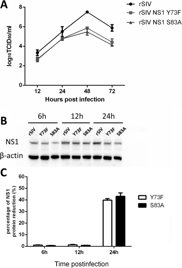Growth kinetics of recombinant viruses with NS1 mutants lacking a phosphorylation site. a Growth kinetics of the recombinant viruses in MDCK cells. Recombinant viruses possessing wild-type NS1, NS1 Y73F and NS1 S83A were generated by reverse genetics, as described in the Materials and Methods. MDCK cells were infected with rSIV or mutated virus (rSIV NS1 Y73F and rSIV NS1 S83A) at an MOI of 0.001. Supernatants were collected at 12, 24, 48, and 72 hpi, and virus titers were determined by TCID 50 assay. The mean values from three independent experiments are shown for each sample. b Expression kinetics of NS1 protein during infection. MDCK cells on 6-well plates were infected at an MOI of 0.001 with rSIV or mutated viruses, and cell lysates were collected at the indicated time points for western blot analysis of NS1 protein levels.C. Percentage of the NS1 protein reduction level. The percentage of protein reduction (%) was calculated by the formula [(NS1 expression of rSIV infected cells - NS1 expression of mutant viruses infected cells)/ NS1 expression of rSIV infected cells] × 100%; Abscissa: time points after infection